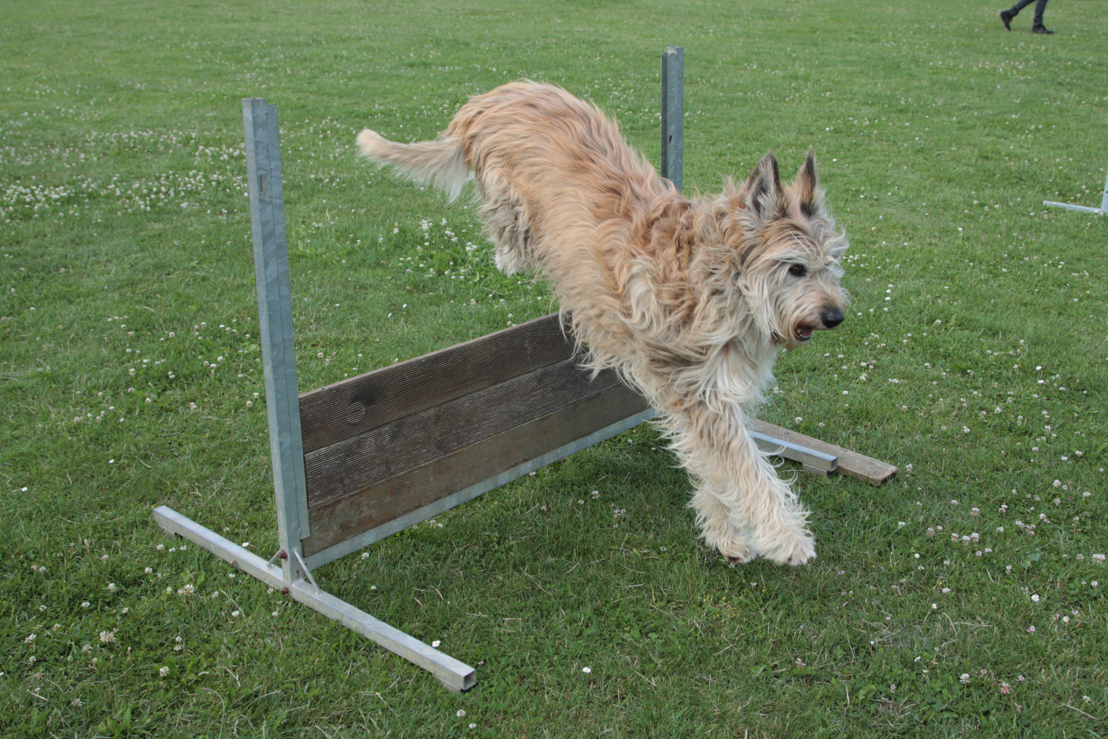 obeissance_chien_saut_obstacle