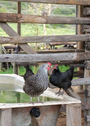 Farm scenery chickens