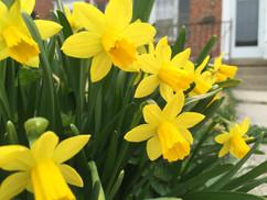 LRV Daffodils