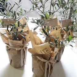 Gift Plant Olive