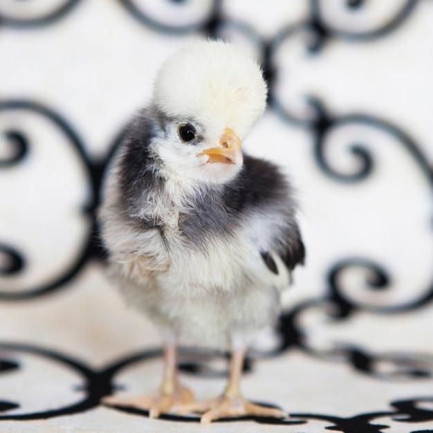 chickBW1.jpg