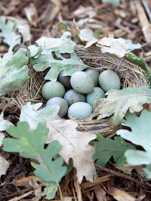 Button quail eggs with oak leaves