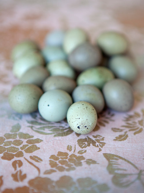 Buttonquail eggs on pink paper