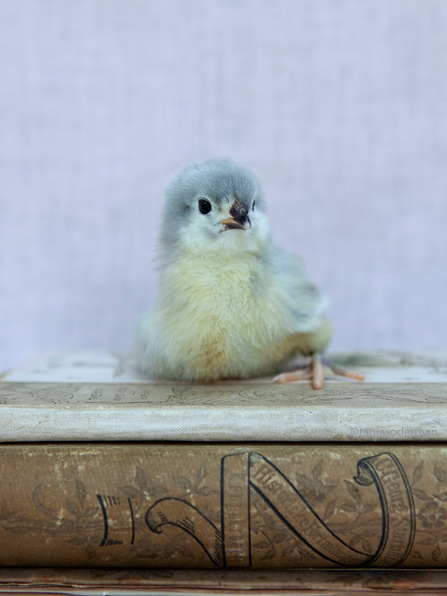 ANEMONE - Well read chick