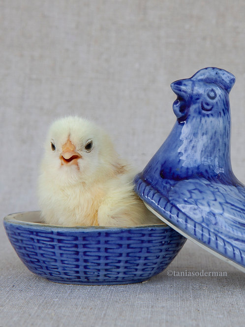 Blue mother hen