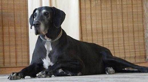 cane di razza alano femmina