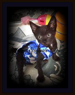 Scrappy's Nappies Custom Made kitten Diaper