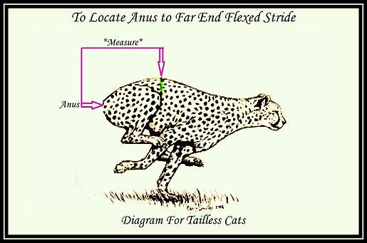 Far Flexed Stride Tailless Cat