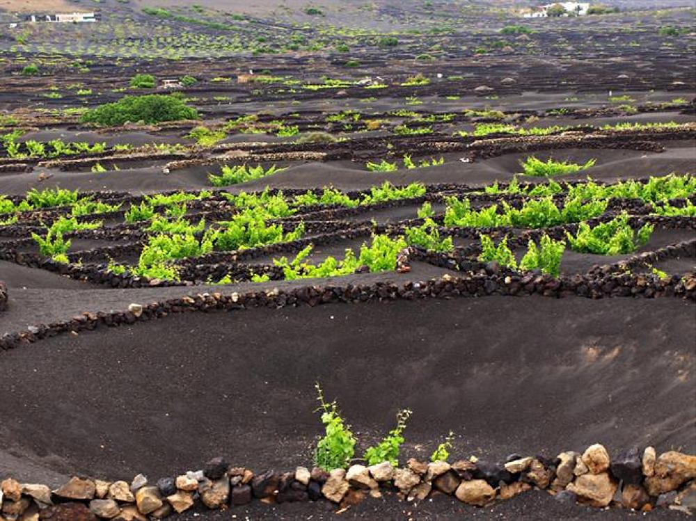 Lanzarote wine