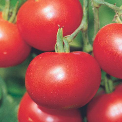 Planton de tomate MATINA
