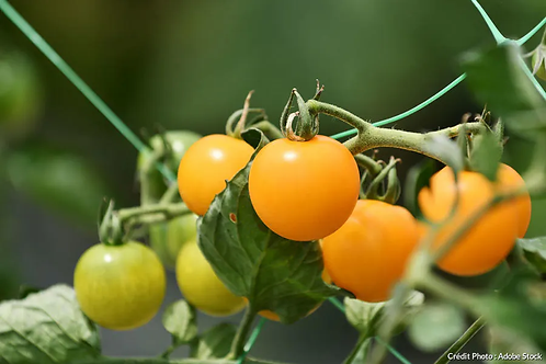 Planton de tomate CHRISTINA