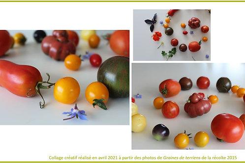 Plantons de tomates aux couleurs de l'arc-en-ciel