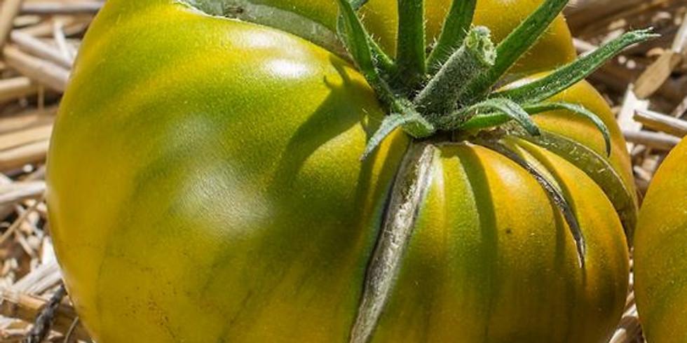 "Planton ""Tomate Cherokee Green"""
