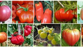 Plantons de tomates heureux cherchent jardiniers en herbe