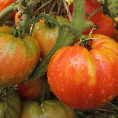 Planton de tomate STRIPED GERMAN