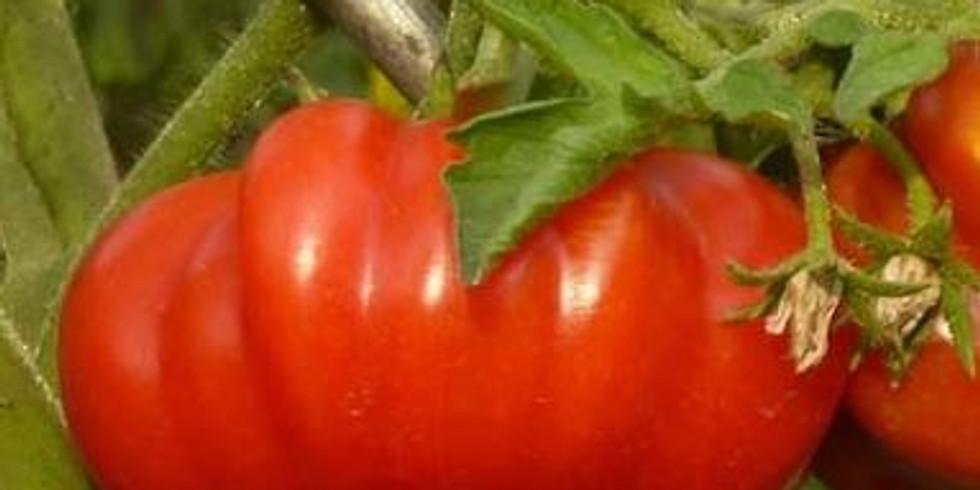 """Planton """"Tomate Costoluto Fiorentino"""""""