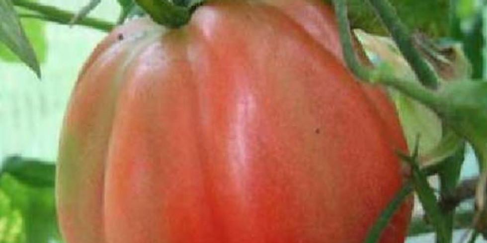 "Planton ""Tomate Coeur de boeuf de Nice"""