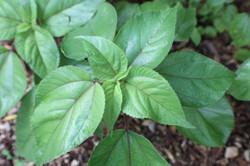Mamaki Native Hawaiian Herbal Tea