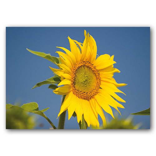 Floral Range Sunflower - Sold in pack (100 postcards)
