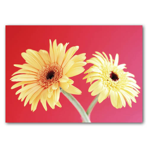 Floral Range Gerberas - Sold in pack (100 postcards)