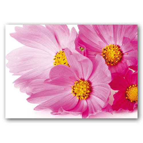 Floral Range Pink Daisies - Sold in pack (100 postcards)
