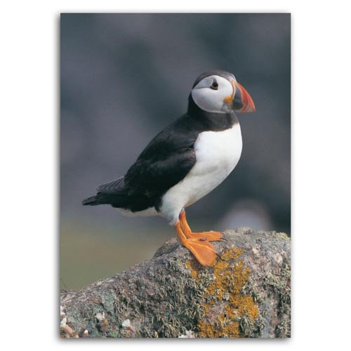 Puffin - Sold in pack (100 postcards)