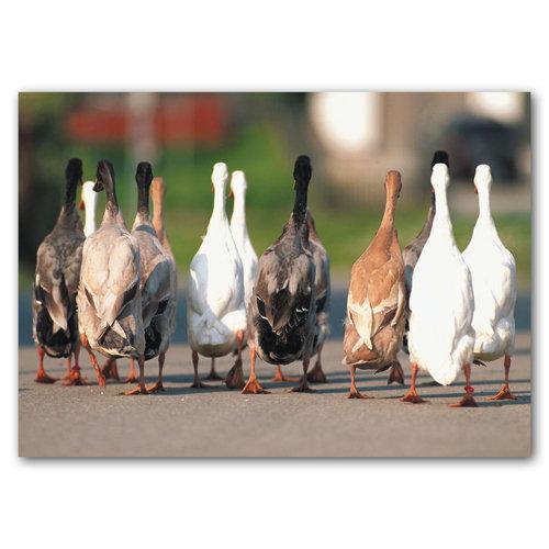 Cute Animal Geese - Sold in pack (100 postcards)