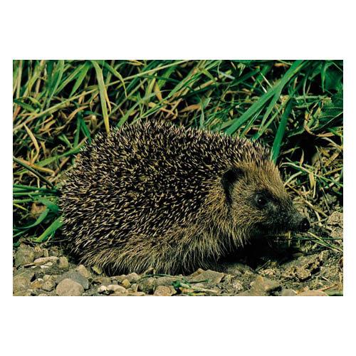 Hedgehog - Sold in pack (100 postcards)