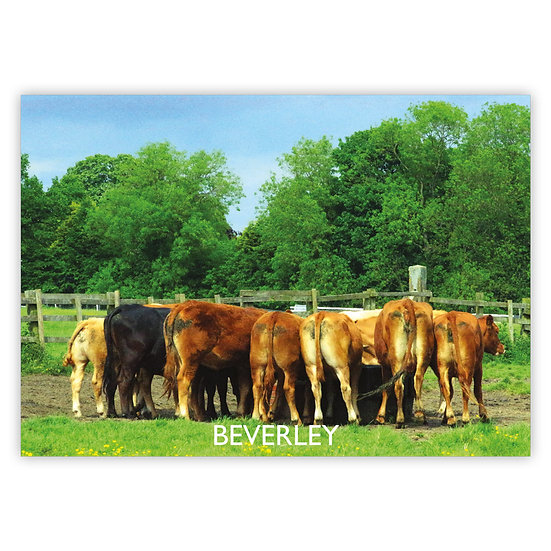 Beverley Cattle from Behind at Westward Pasture - Sold in pack (100 postcards)