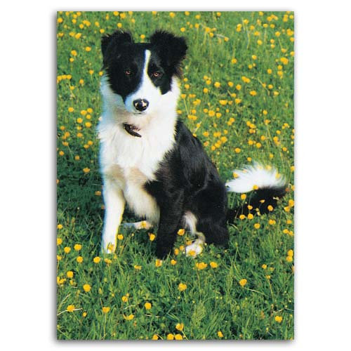 Dog Collie - Sold in pack (100 postcards)
