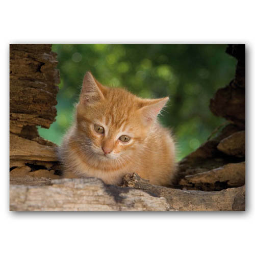 Cute Animal Kitten Curious - Sold in pack (100 postcards)