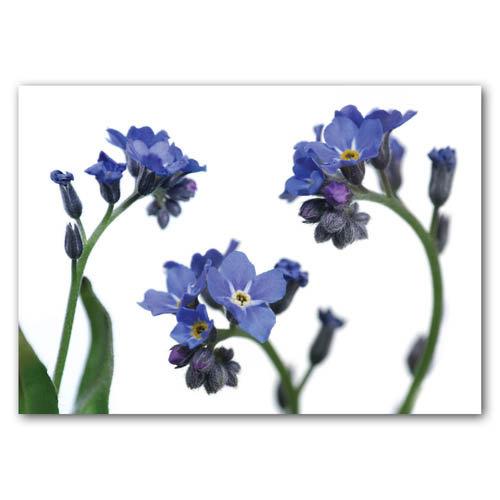Floral Range Forget Me Nots - Sold in pack (100 postcards)