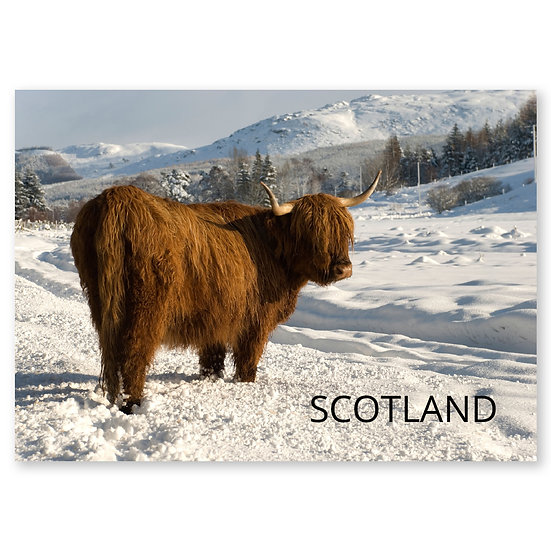 Inverness Highland Cow Farr - Sold in pack (100 postcards)