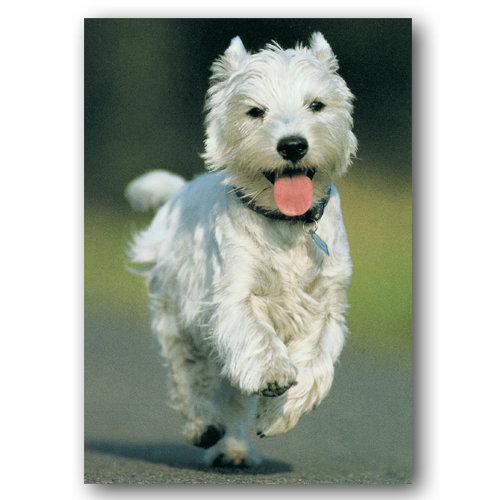 Cute Animal Westie - Sold in pack (100 postcards)