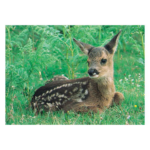 Deer Young Roe - Sold in pack (100 postcards)