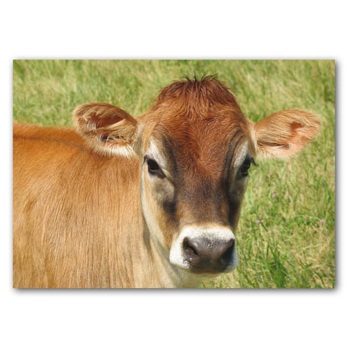 Cute Animal Cow - Sold in pack (100 postcards)