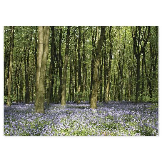 Marlborough Bluebell Woodlands - Sold in pack (100 postcards)