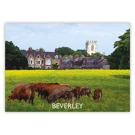 Beverley Cattle at Westwood Pasture - Sold in pack (100 postcards)