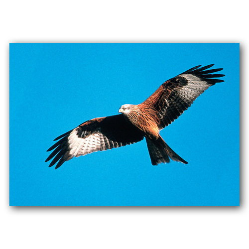 Red Kite - Sold in pack (100 postcards)