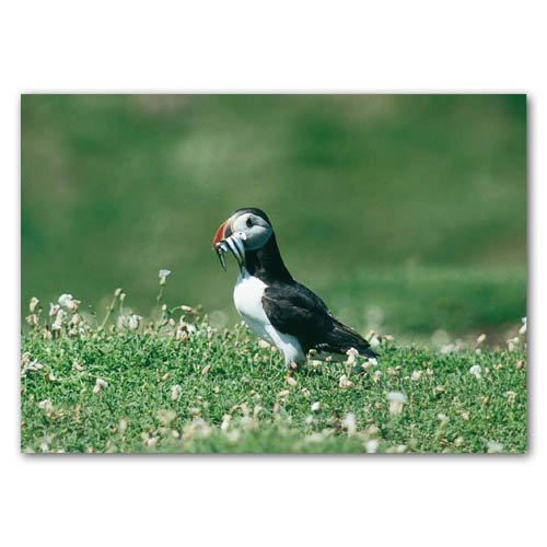 Puffin Fishing - Sold in pack (100 postcards)