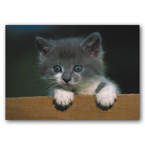 Cute Animal Kitten Grey - Sold in pack (100 postcards)
