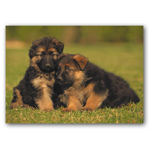 Cute Animal Puppies Two - Sold in pack (100 postcards)