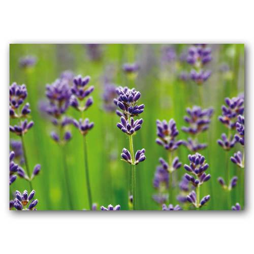 Floral Range Lavender - Sold in pack (100 postcards)
