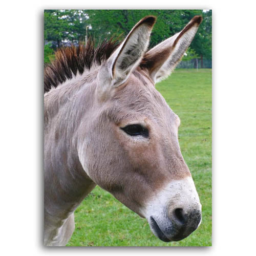 Donkey - Sold in pack (100 postcards)
