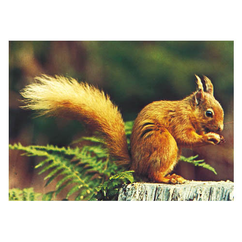 Red Squirrel - Sold in pack (100 postcards)