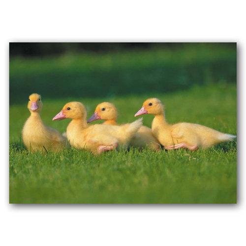Cute Animal Ducklings - Sold in pack (100 postcards)