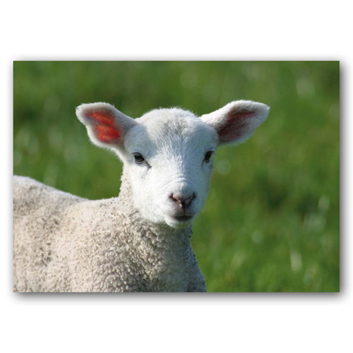 Lamb - Sold in pack (100 postcards)