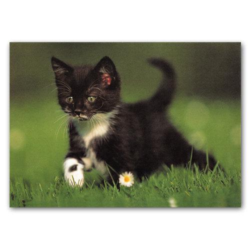 Cute Animal Kitten - Sold in pack (100 postcards)