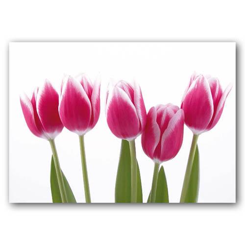 Floral Range Pink Tulips - Sold in pack (100 postcards)