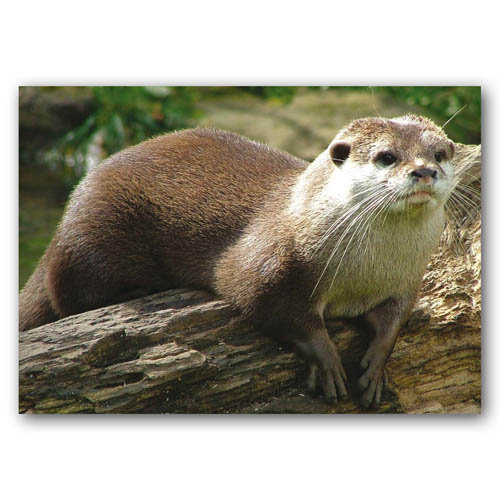 Otter - Sold in pack (100 postcards)